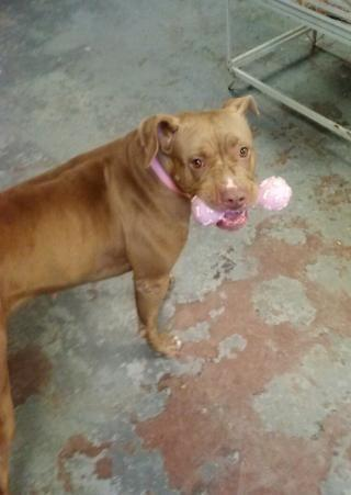 Blue Nose Pitbull For Sale In Virginia Classifieds Buy And Sell In