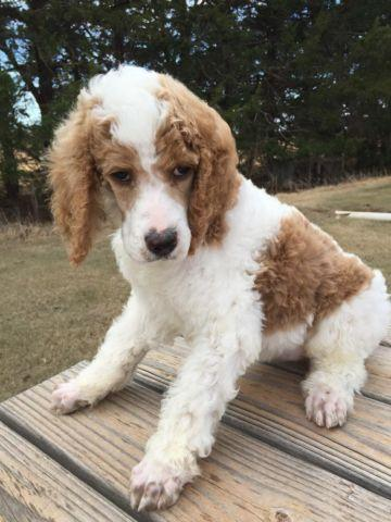 Phantom Standard Poodle For Sale In Oklahoma Classifieds