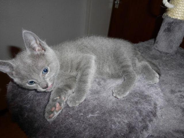 Blue Kittens For Sale : Adorable russian blue kittens with pedigree months old for
