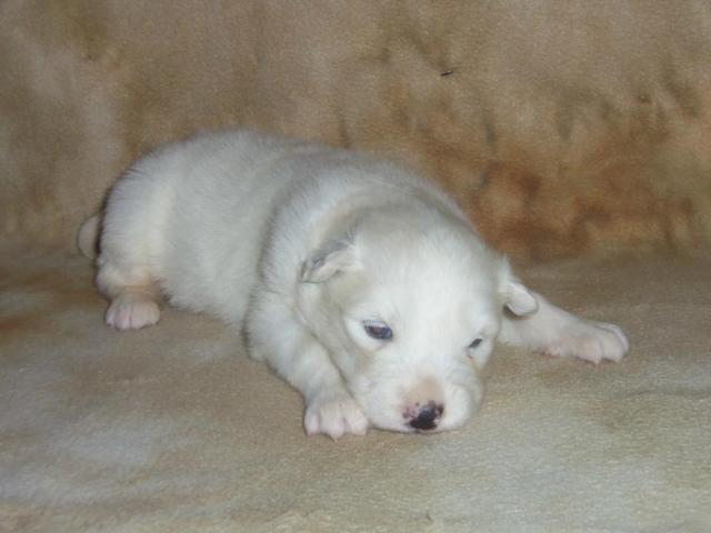 Samoyed Puppies & Dogs - Adopt-a-Pet.com