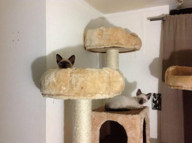 Adorable Seal Point Siamese kittens