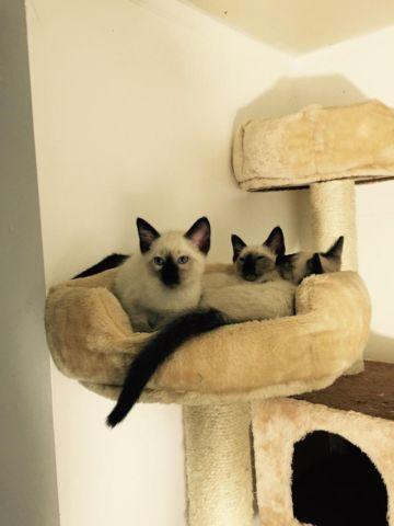 Adorable Seal Point Siamese kittens (with 2 Lilac!)