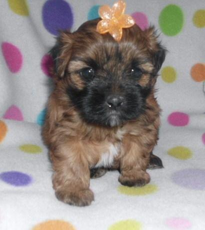 pomeranian shih tzu mix puppies for sale adorable shih pom puppies shih tzu pomeranian designer 5085