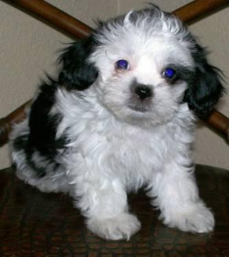 shih tzu rescue sacramento adorable shih poos 12 weeks old for sale in sacramento 8310