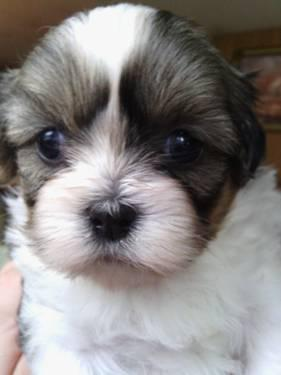 Adorable Shih Tsu Puppies for Sale
