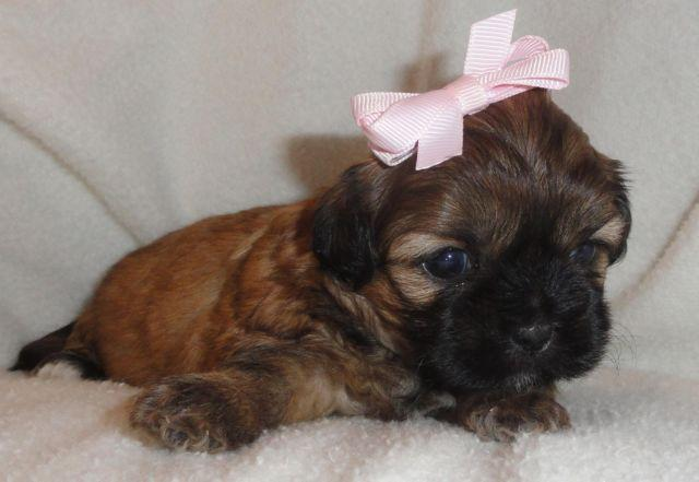Adorable Shih Tzubichonpoodle Mix Puppies For Sale In