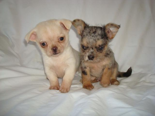Teacup Chihuahua For Sale In Chesterfield Virginia Classifieds