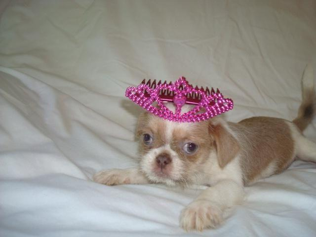 shih tzu breeders in virginia adorable shih tzu chihuahua mixed puppies 2 left for sale 501