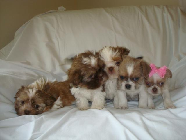 Chihuahua Puppies Mix For Sale In Virginia Classifieds Buy And
