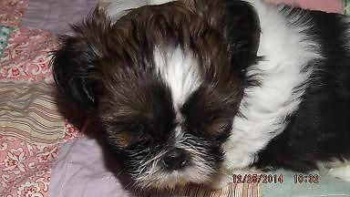 Adorable Shih Tzu male Puppy