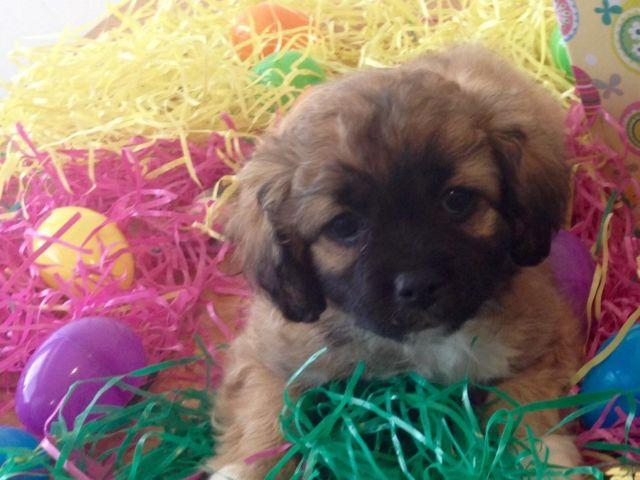 Adorable shih tzu Pekingese mix puppies for Sale in