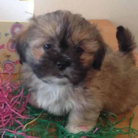 shih tzu mix with pekingese adorable shih tzu pekingese mix puppies for sale for sale 9940