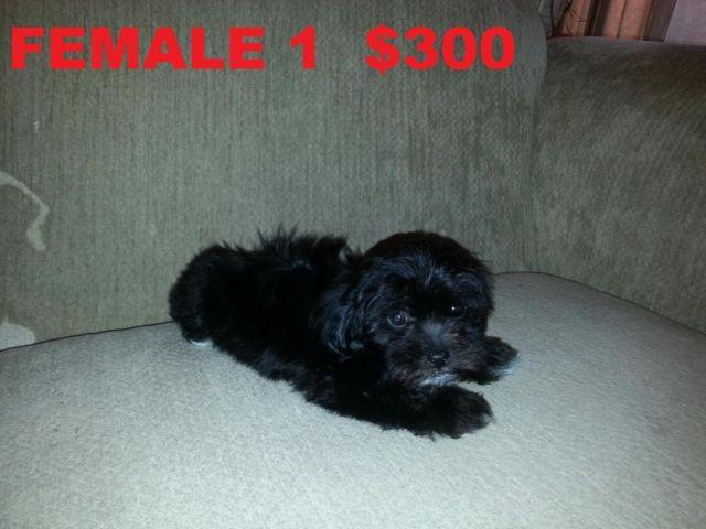 Pets And Animals For Sale In Glendale Arizona Puppy And Kitten