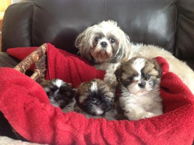 shih tzu puppies for sale in ma adorable shih tzu puppies for sale in north dighton 7780