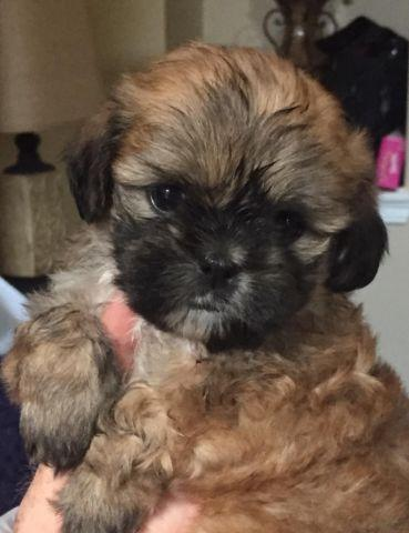 Adorable Shih Tzu Puppies For Adoption 7 Weeks Old For Sale In San Antonio Texas Classified