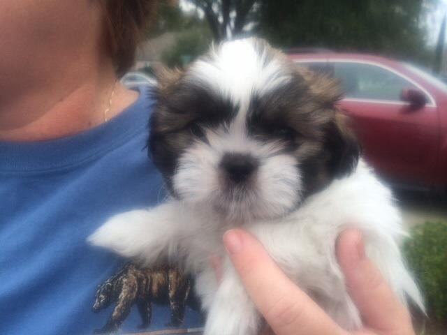 Adorable Shih Tzu Puppies For Sale For Sale In Tallahassee Florida