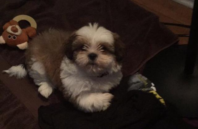 shih tzu puppies for sale in philadelphia adorable shih tzu puppy for adoption 10 weeks old for 7800
