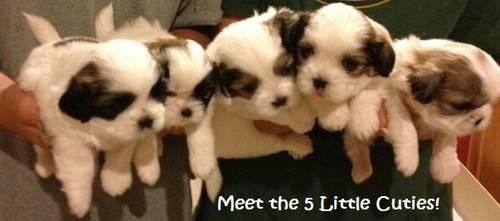 Adorable Shih Tzus for sale- 5 weeks