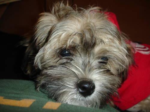 Adorable Soft Cuddly Shih Tzu Poodle Mix Puppy For Adoption Male
