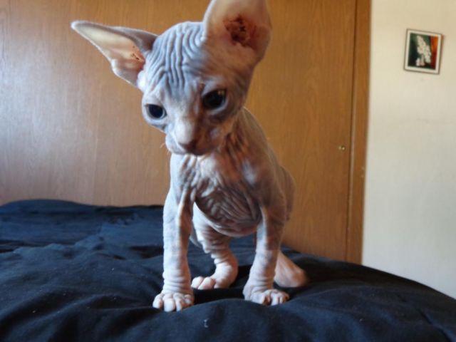 Adorable Sphynx (Hairless) Kittens