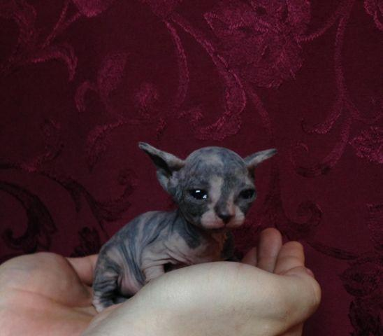 Adorable Sphynx Kittens for Sale in Happy Valley, Oregon Classified