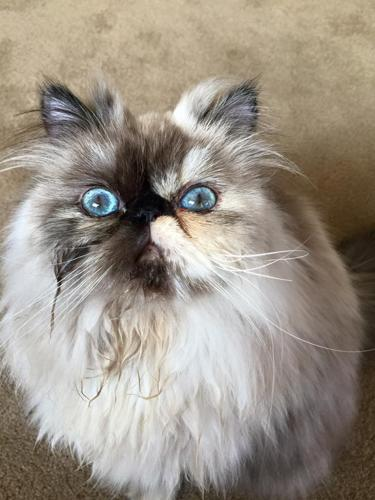 Adorable spoiled Himalayan cat