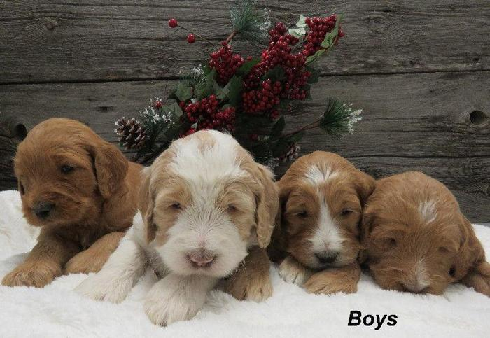 Adorable Standard F1b Goldendoodle Puppies Available