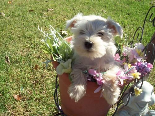Adorable, Sweet and Cute Mini Schnauzers Puppies-9 Weeks Old