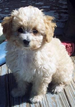 ADORABLE, SWEET APRICOT MALE TINY TOY POODLE 10 WEEKS