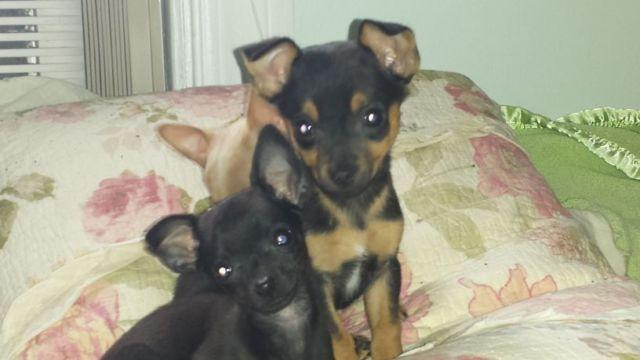 min pin chihuahua mix puppies for sale adorable teacup chi pin chihuahua min pin puppies for sale 8157