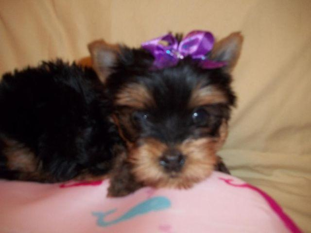 yorkie price adorable teacup ckc yorkie price reduced for sale in 9182