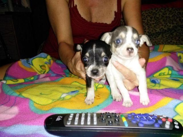Adorable Teacup Female Chihuahua Puppies for Sale in