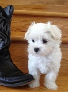 Adorable Teacup Maltese Puppies for Sale in Houston, Texas ...