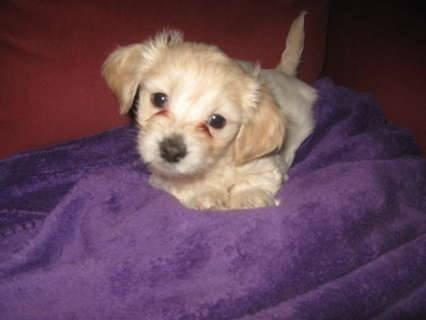 Adorable Teacup Maltipoo Mauxie Puppies Non Shedding