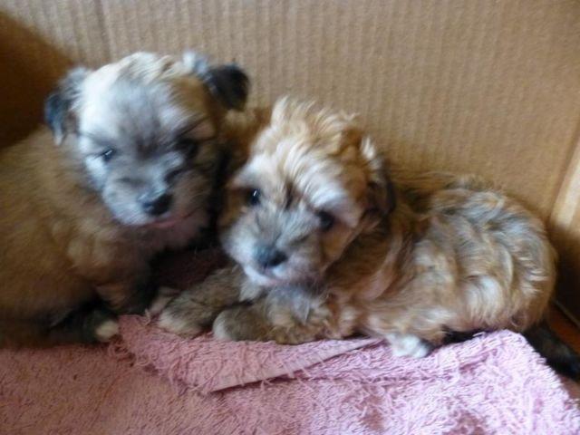 Adorable Teacup Maltipoo/Pomeranian mix puppies