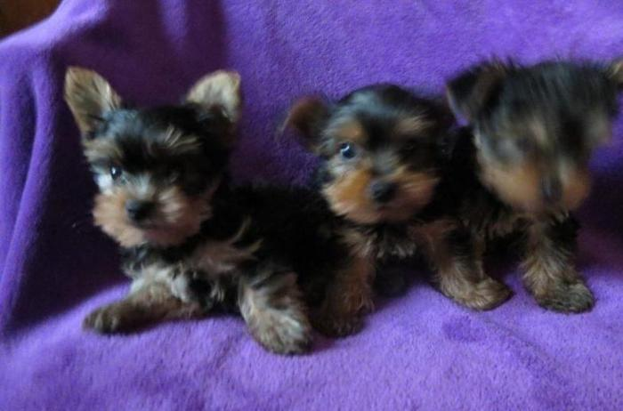yorkie puppies for sale in michigan adorable teacup sized yorkshire terrier puppies for sale 1667