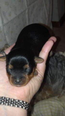 yorkie puppies for sale in michigan adorable teacup yorkie puppies for sale in baldwin 3849