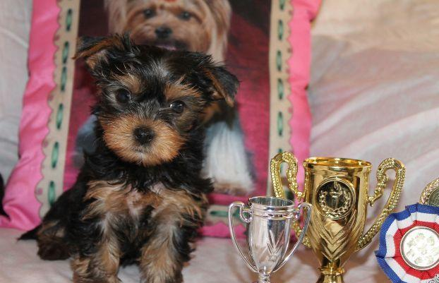 Adorable teacup yorkie puppies