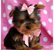 Adorable Teacup Yorkie Puppies Available For Sale In Mayfield