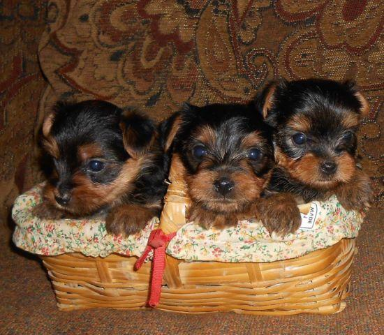 Adorable TEACUP Yorkie Puppies!!!! SOLD