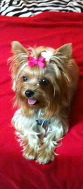 Teacup Puppies For Sale In Illinois Classifieds Buy And Sell In