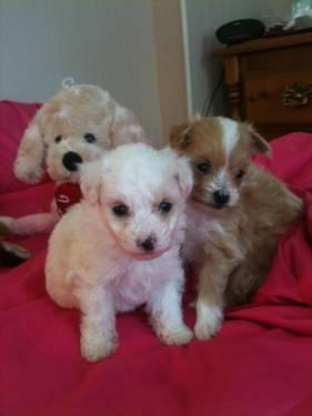 Adorable Tiny Pom A Poo Puppies Pomeranian Toy Poodle Mix