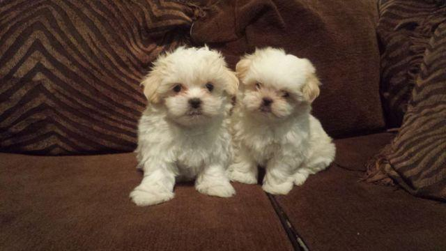Adorable Tiny Toy Malteseshih Tzu Males 6 Weeks Old For Sale In