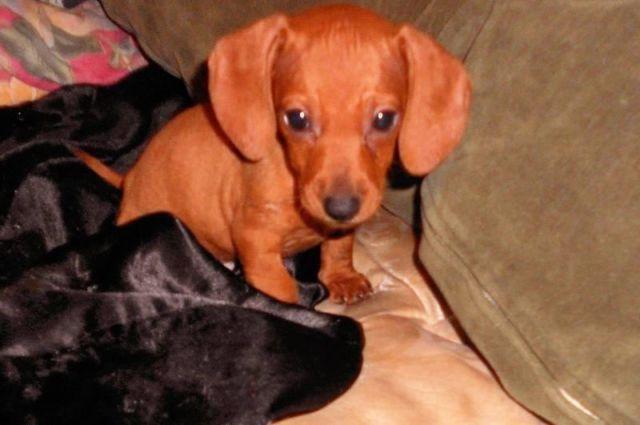 Adorable Toy Dachshund Puppy