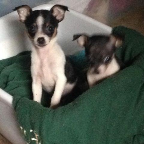 Adorable Toy fox terrier x Chihuahua Puppies
