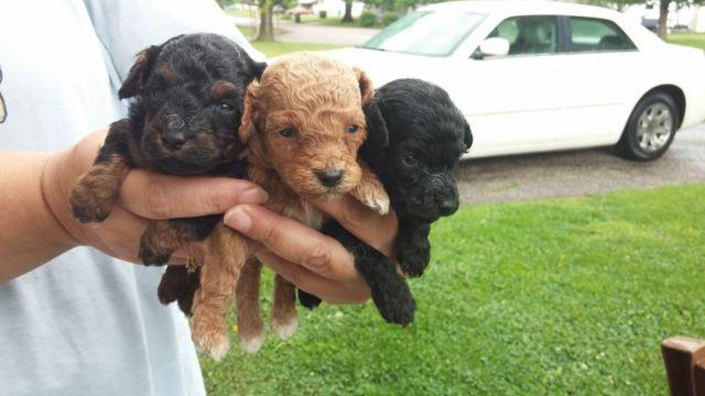 Toy Poodle Puppies For Sale In Illinois Classifieds Buy