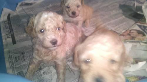 Adorable Toy Poodle Puppies For Sale Ready On July 18th