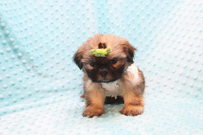 Adorable Toy Shih Tzu Puppies For Sale For Sale In Costa Mesa