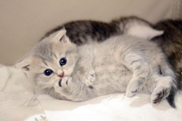 Image result for white russian blue kittens