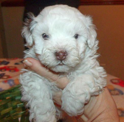 Adorable White/Chocolate Havanese with Blue eyes